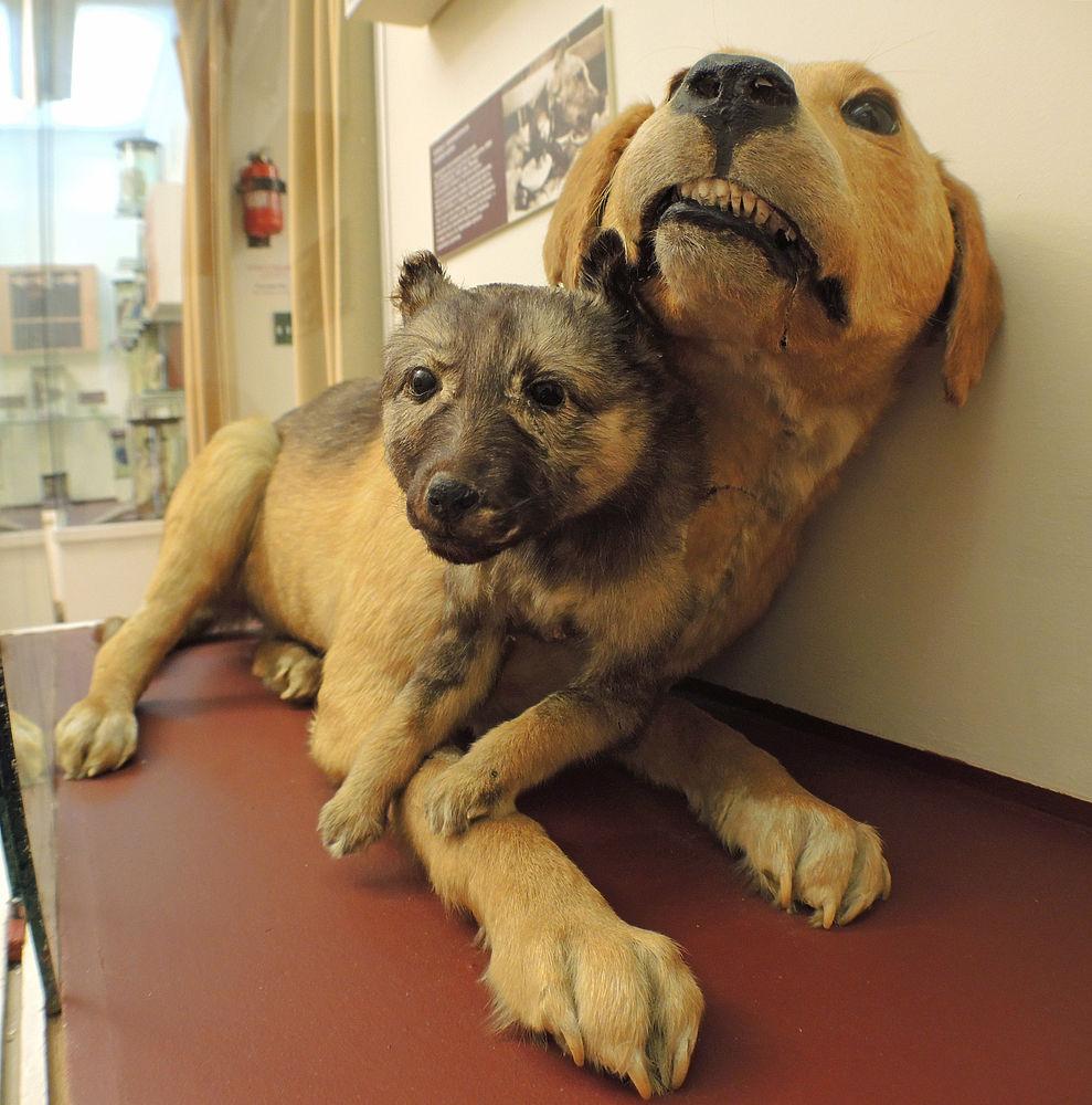 пересадка головы собак
