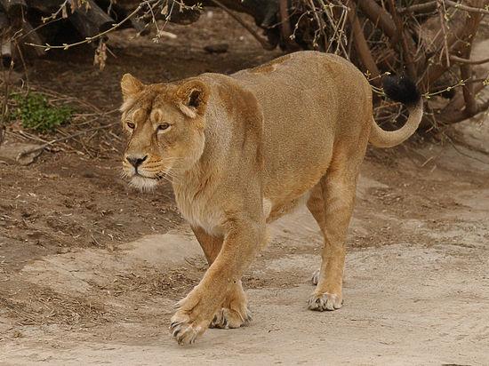 фото львы и люди