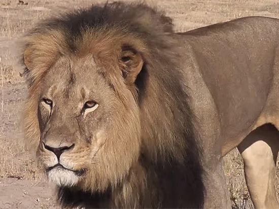 Легендарный лев Сесиль застрелен туристом в Зимбабве