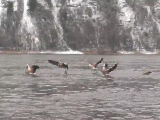 Семь фламинго по ошибке прилетели в Сибирь им грозит гибель