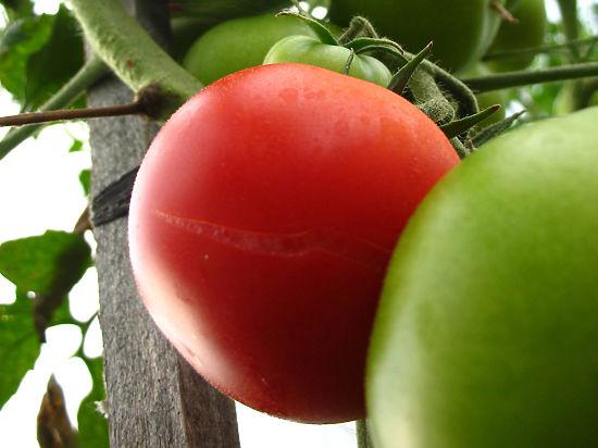 Генетики вывели ГМО-помидоры, которые заменяют вино и замедляют старение