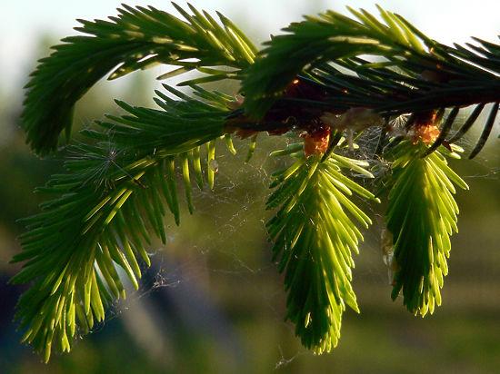 На площади Революции вырастет еловый лес к празднику Крещения