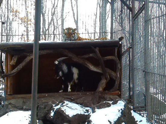 Из меню тигра Амура, подружившегося с козлом Тимуром, убрали козлятину