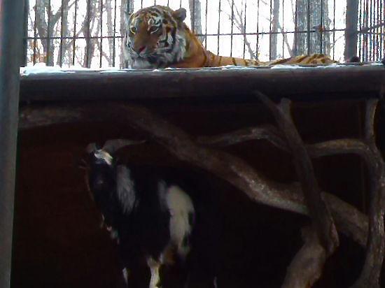 Тигр Амур съел козла Тимура: провокация похуже турецкой