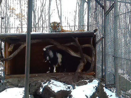 Зоологи не верят в дружбу козла Тимура и тигра Амура