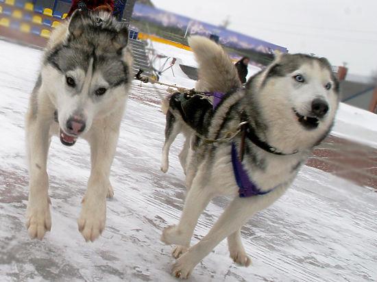 Минобороны РФ готовит собачьи упряжки для арктического спецназа