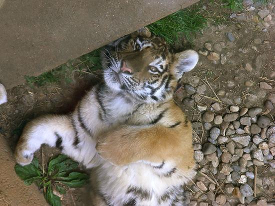 Вопреки прорыву энергоблокады в зоопарке Ялты умер второй бенгальский тигренок