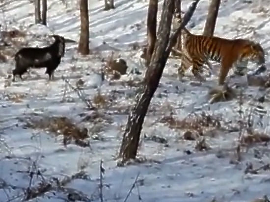 Козёл Тимур начал «прессовать» тигра Амура