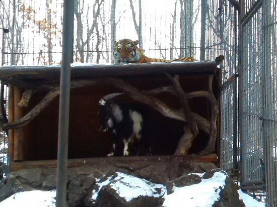 Дружба Амура с Тимуром оказалась ошибкой: козел признан наглой добычей