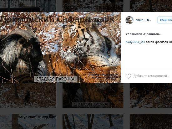 Амур и Тимур появились в Instagram: сафари-парк показал «козла на стреме»