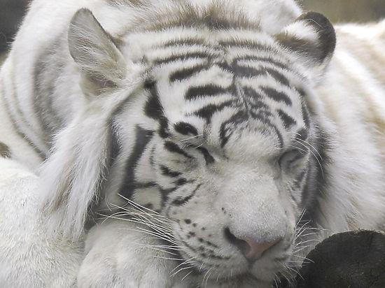 Бенгальские тигрята-альбиносы вкрымском зоопарке погибли от