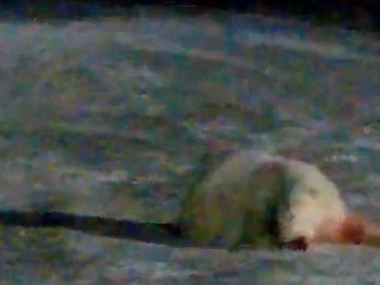 Раненой взрывпакетом в Арктике медведице удалось выжить, рассказала автор видео