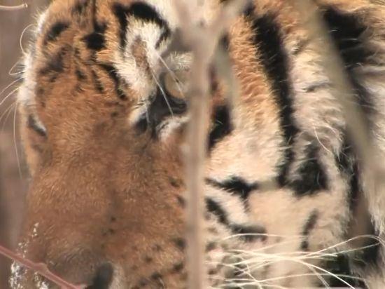 Амурский тигр ранил охотника в Приморье и вернулся за кабаном