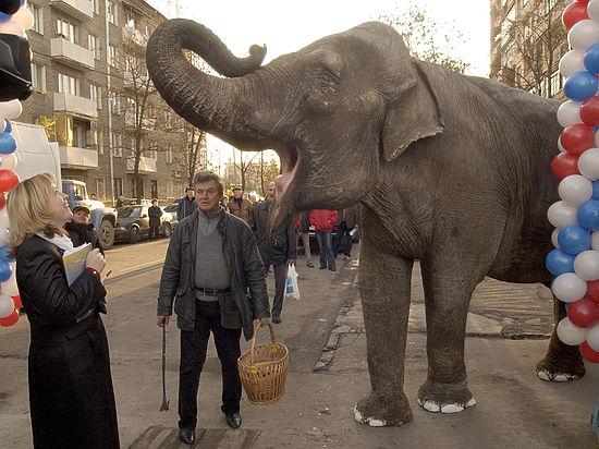 Праздник в вольере: московским слонам устроят пир из новогодних елок