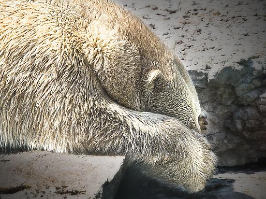 Белая медведица убила строителя в Арктике от возмущения, считают эксперты