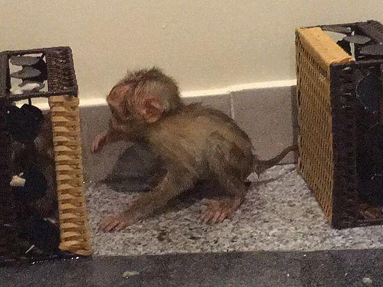 Вьетнамцу, который пытался провезти в чемодане обезьян, грозит штраф