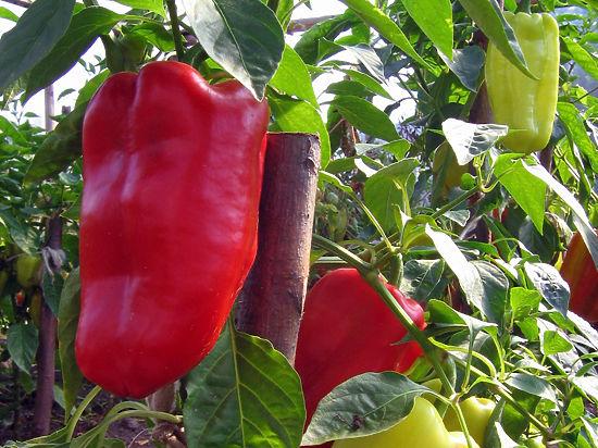 В российской оранжерее на МКС решили выращивать перец