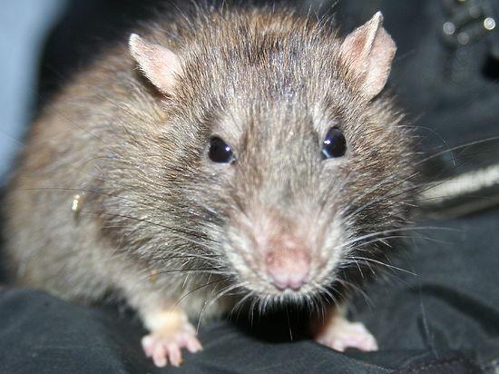 Степные мыши доказали ученым, что грызунам не чуждо сочувствие