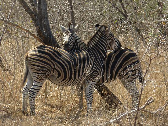 Изучая зебр, зоологи выяснили, что Дарвин ошибался