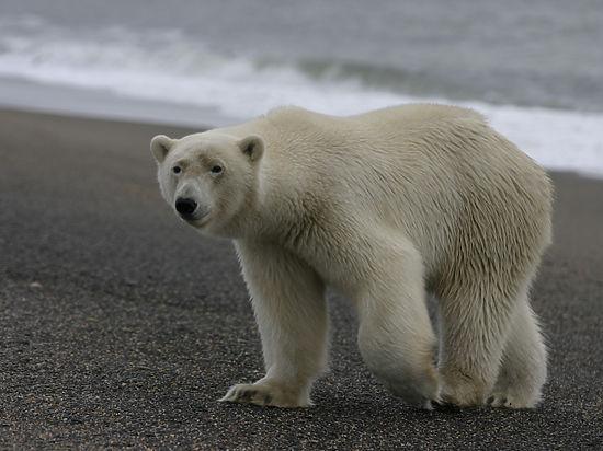 Полярник о подрыве медведицы на острове Врангеля:
