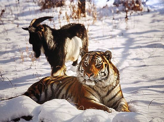 Приморский сафари-парк разыскал прежнюю семью козла Тимура