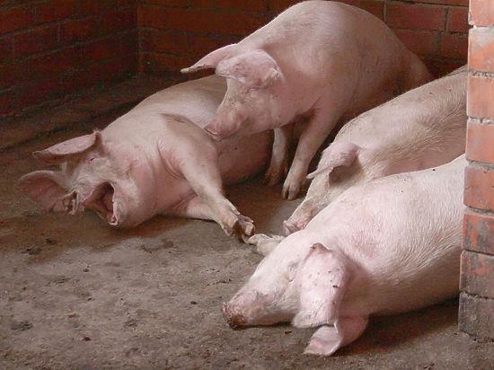 ФСБ пришла с расследованием в крымские свинарники
