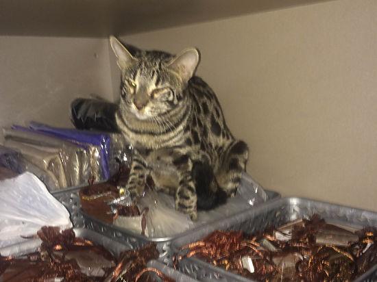 В «Шереметьево» сбежавшая от пассажирки кошка разгромила бутик