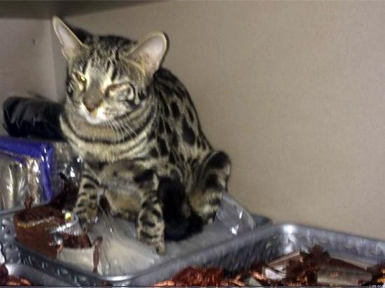 Породистая кошка устроила погром в бутике аэропорта «Шереметьево»