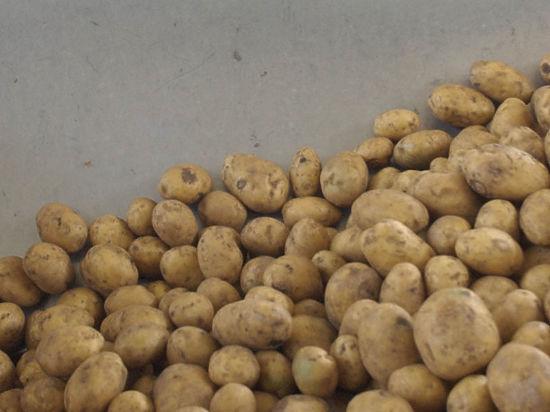 Пора хранить картошку
