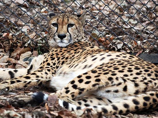 Биологи впервые расшифровали геном гепарда