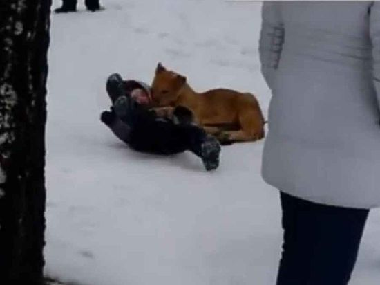СК начал проверку после нападения хищника на ребенка во Владимире