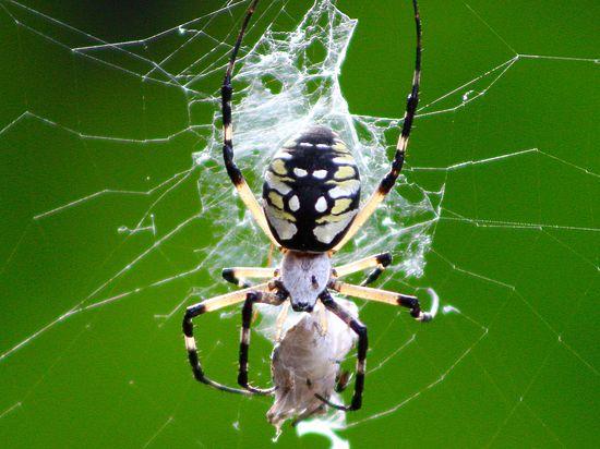 Ради выживания пауки практикуют БДСМ