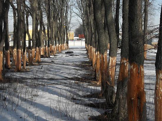 150 молодых здоровых деревьев принес в жертву владелец подольского автосервиса