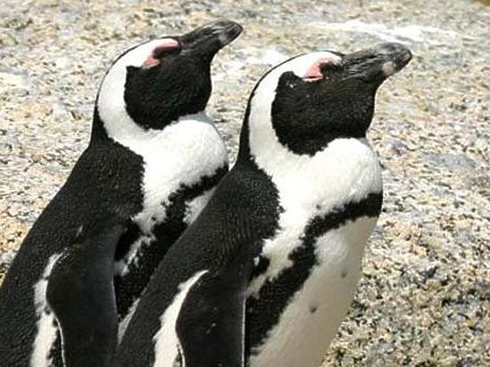 В Московском зоопарке у пары африканских пингвинов появилась долгожданная двойня