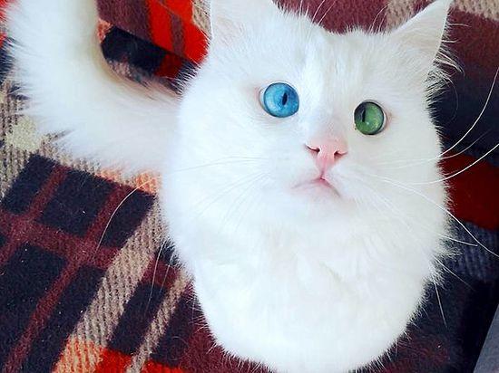Кот турецкий в иркутске