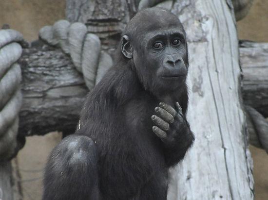 Похищение девушек гориллами фото 111-13