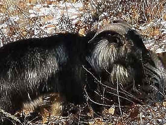 Раненный тигром Амуром козел Тимур отправился лечить инфекцию в Москву