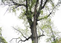В центре Москвы чахнет дерево, которое помнит еще Наполеона