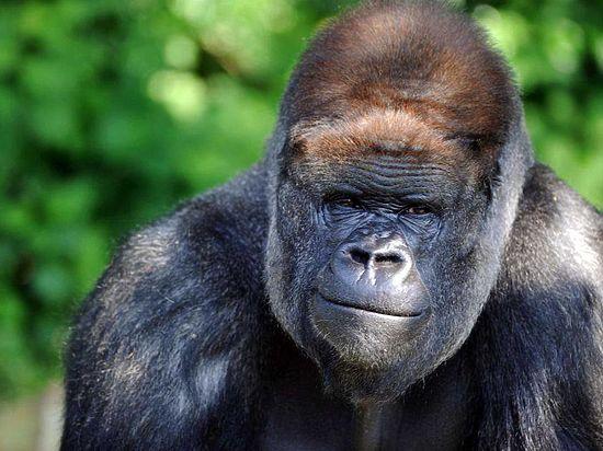 Рабочие зоопарка убили огромную гориллу, чтобы спасти 3-летнего ребенка