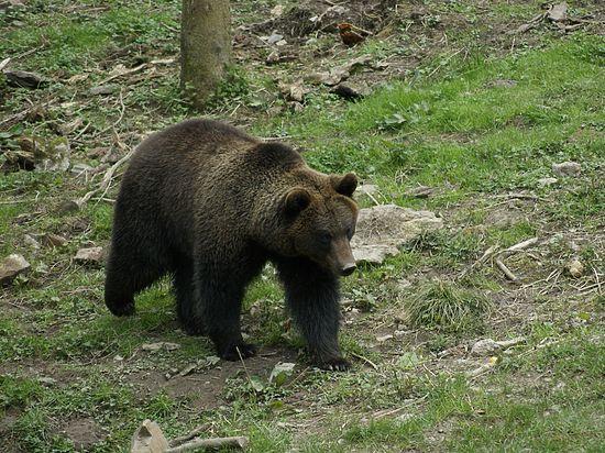 Секс рассказы бурый медведь фото 796-81