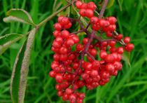 Отравление волчьими ягодами в Подмосковье: госпитализированы бабушка и двое детей