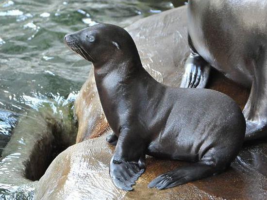 Родившийся вМосковском зоопарке детеныш морского льва уже активно плавает