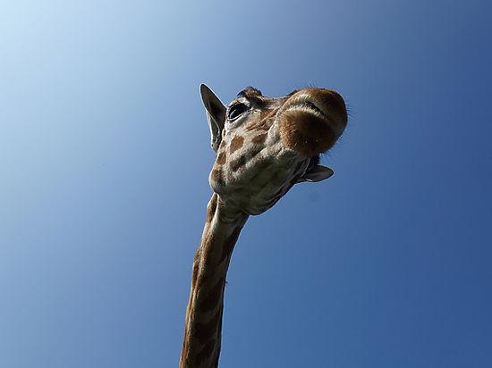 В Австралии обнаружен динозавр-жираф ранее неизвестного вида