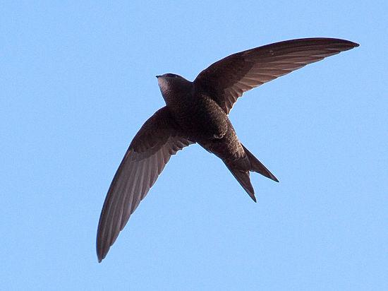 Орнитологи нашли птиц, летающих по 10 месяцев без приземления