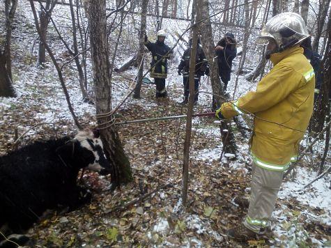 В столице России сбитая автомобилем корова убежала влес спереломанной ногой