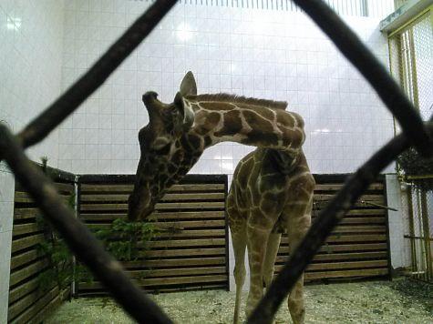 В Петербурге отмечают юбилей старейшей жирафы
