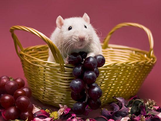 Любители животных увидели особую прелесть в лысом крысином хвосте