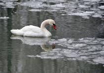 В Подмосковной Рузе готовится спецоперация по спасению лебедей