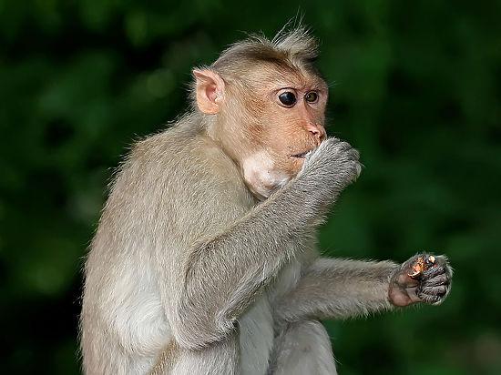 Ученые продемонстрировали, как звучал бы голос разумной обезьяны
