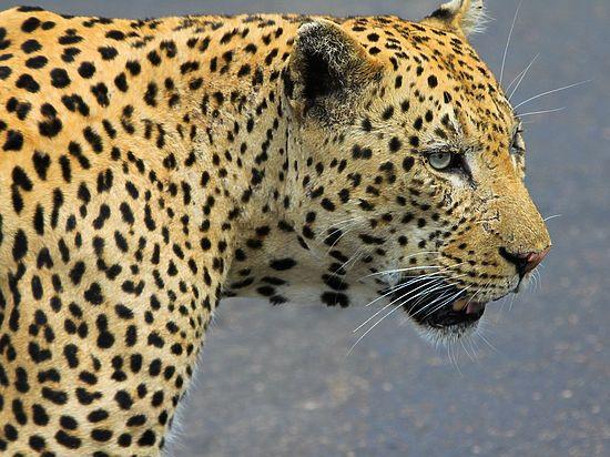 В Красноярском крае цирковой леопард набросился на зрителей